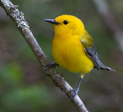 Above: Prothonotary Warbler aka Swamp Canary, credit: USFWS